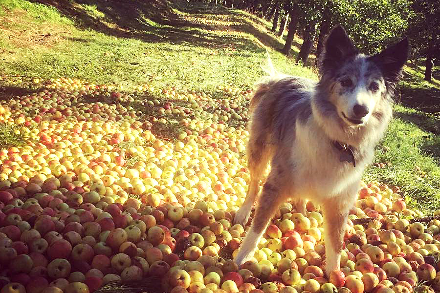 Dog enjoying a walking in the orchard